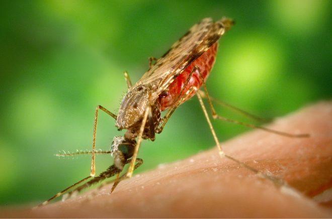le virus du Zika peut être transmis par la piqûre d'un moustique infecté