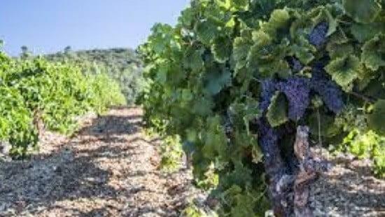 Une parcelle de vigne.