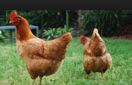 Des poules.