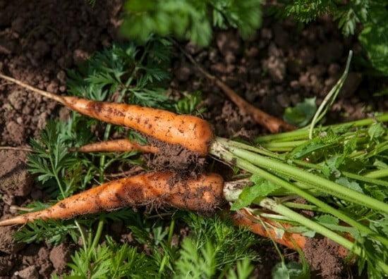 Des carottes bio.